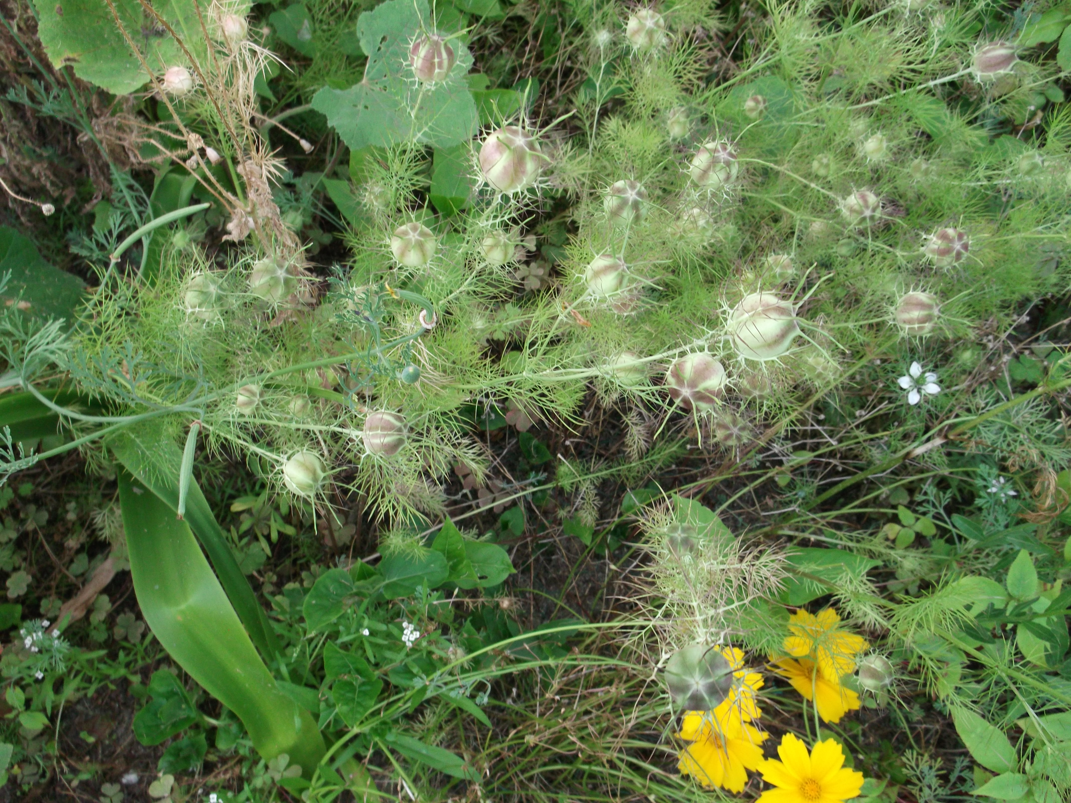 Nigelle conseil jardinage application en phytoth rapie for Plante nigelle