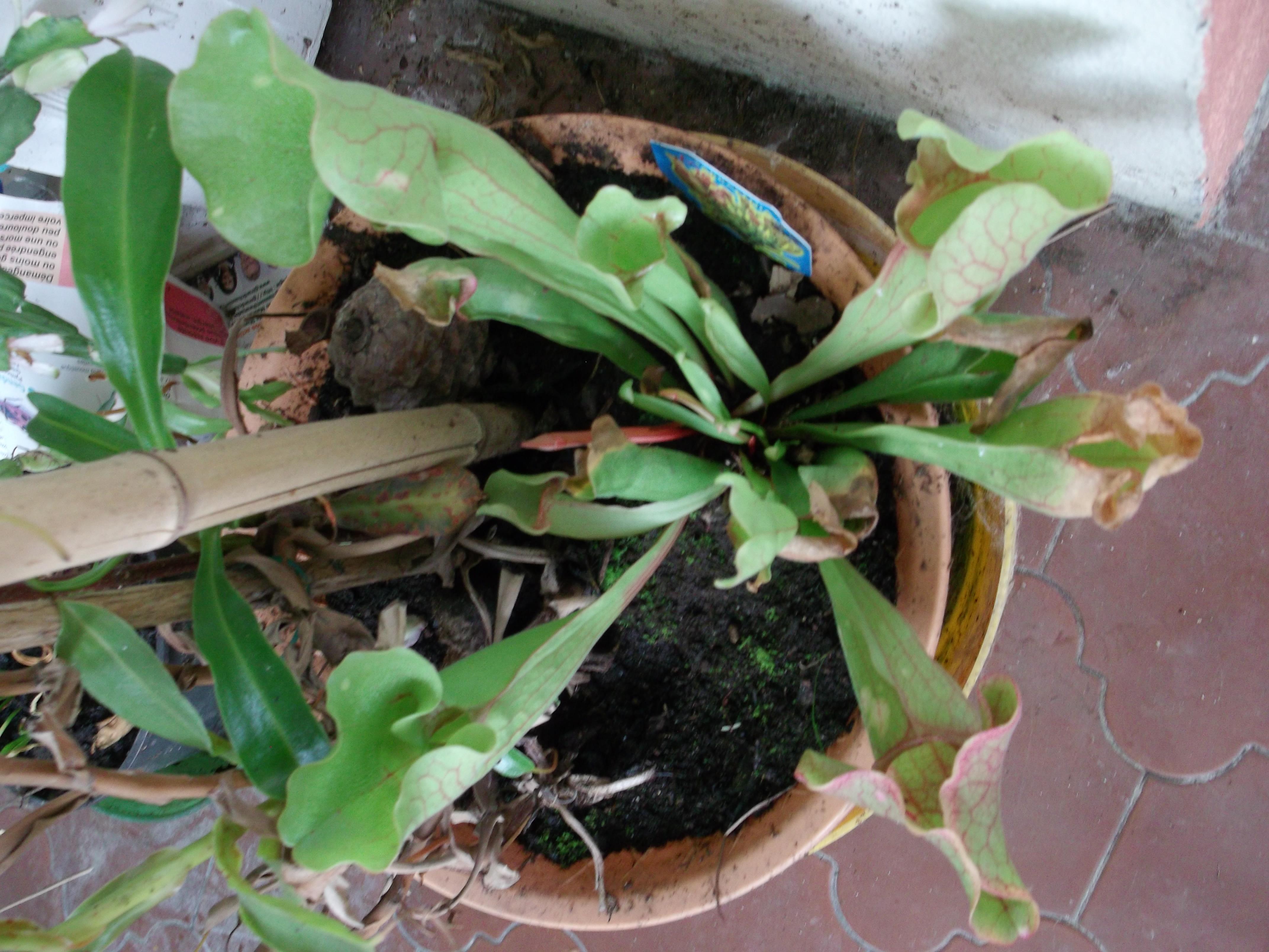 Sarracenias conseil jardinage application en for Conseil jardinage