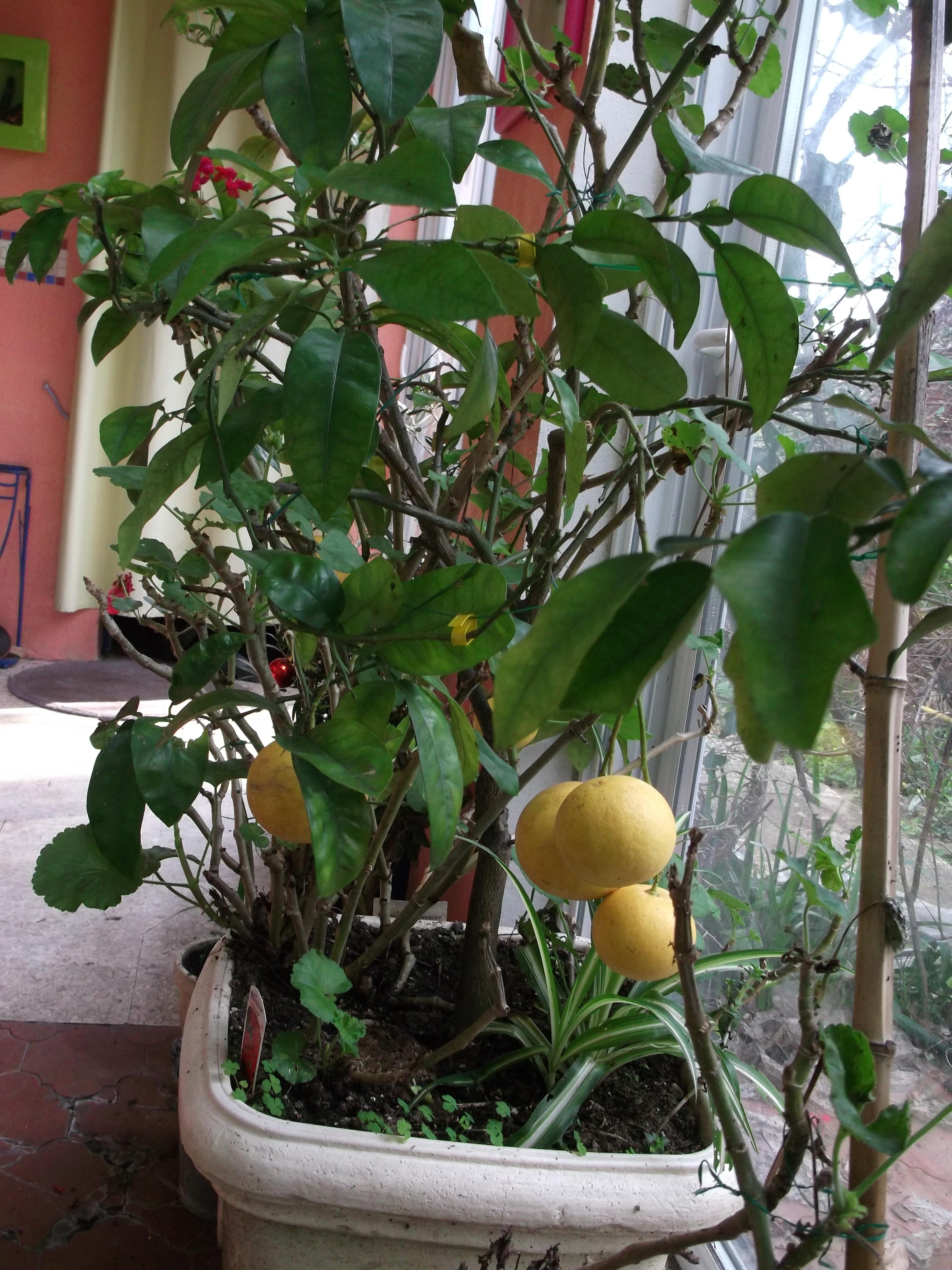 pamplemousse et pomelo conseil jardinage application en phytoth rapie et recette de cuisine. Black Bedroom Furniture Sets. Home Design Ideas