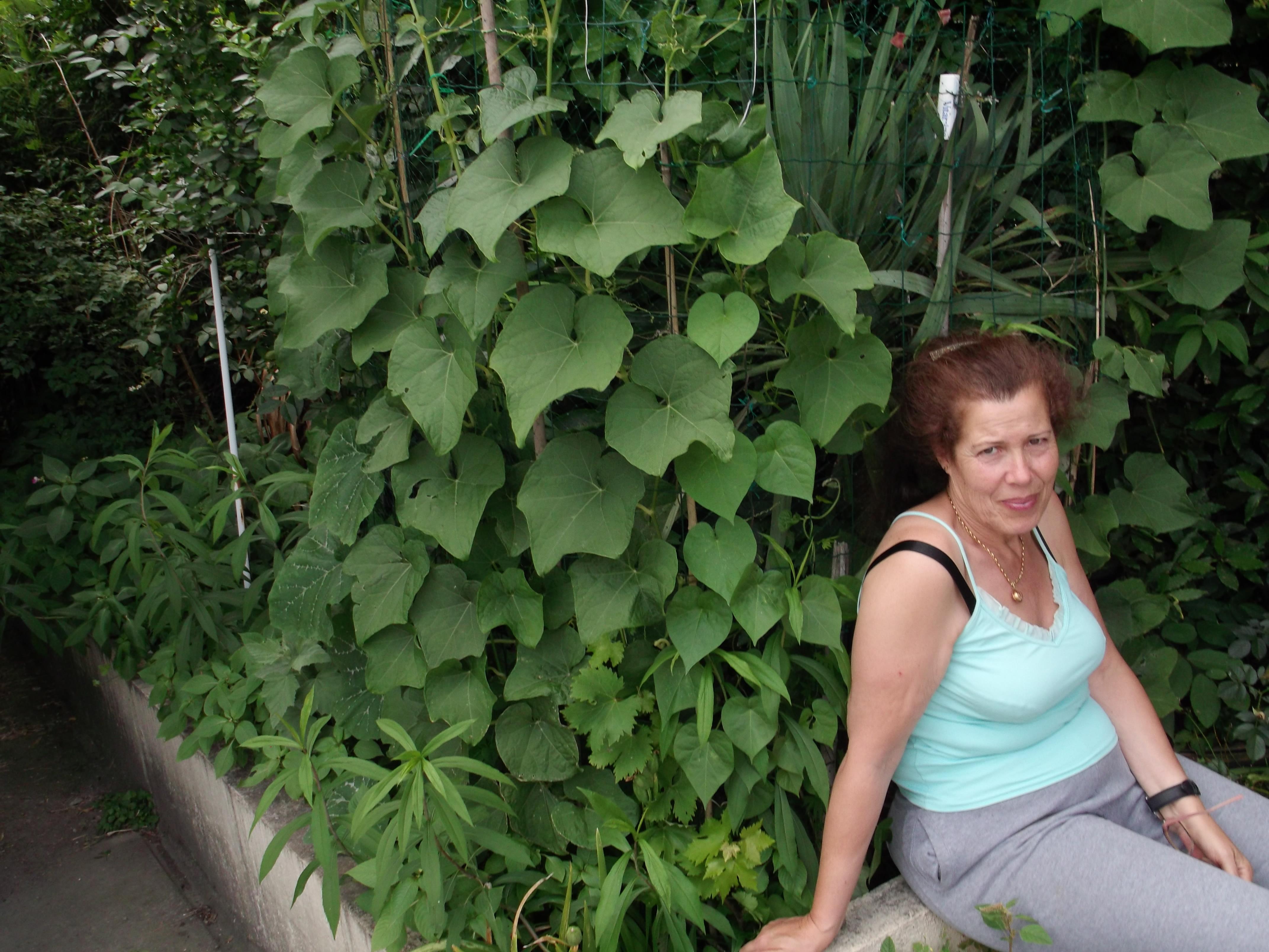 chayotte christophine chayote conseil jardinage application en phytoth rapie et recette de. Black Bedroom Furniture Sets. Home Design Ideas