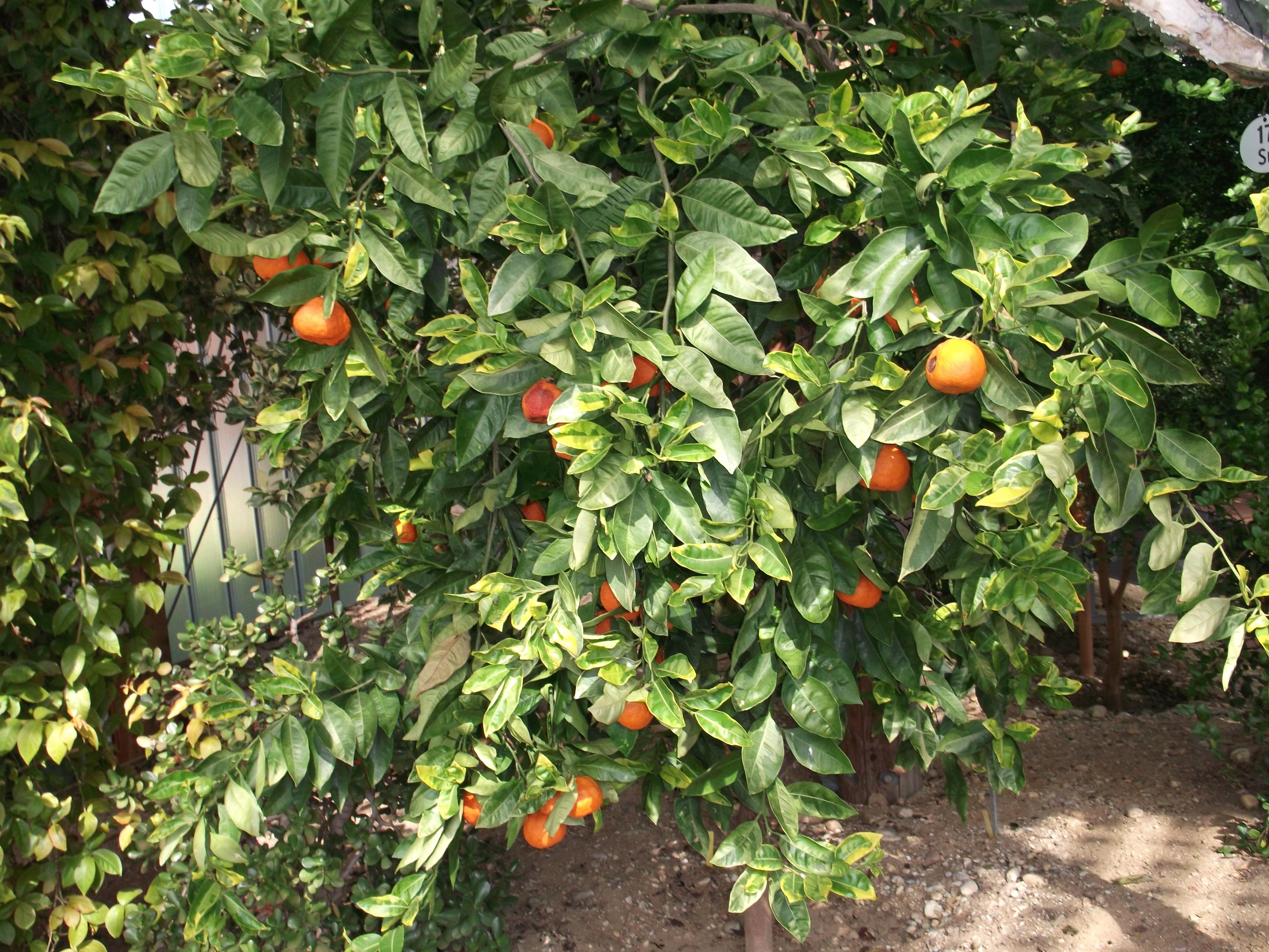 Agrumes conseil jardinage application en phytoth rapie for Conseil jardinage